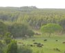 Uruguay Afforestation 1 trees and cattle