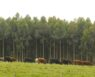 Uruguay Afforestation 6 trees and cattle